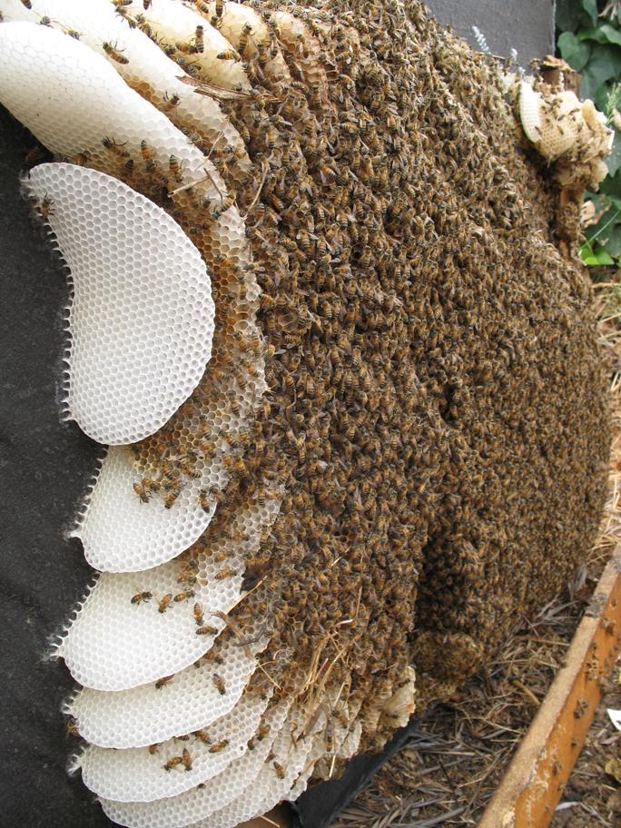 taalman hive2