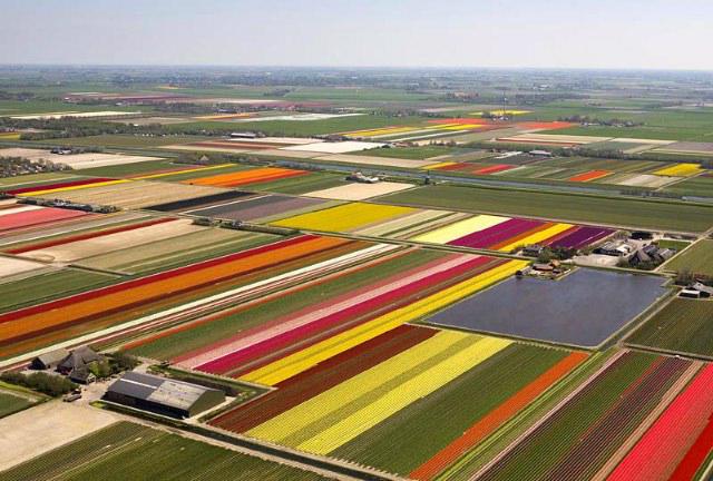 friday tulip picture