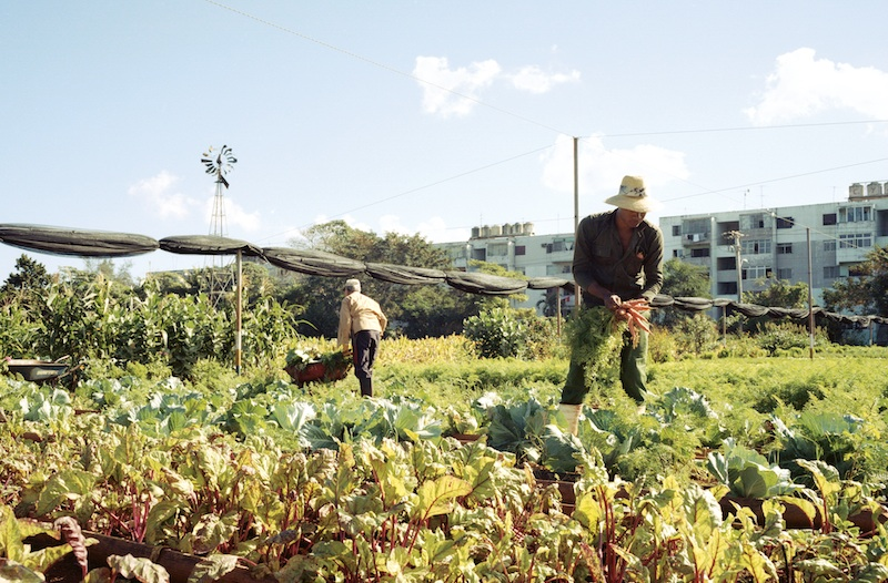 Farming Cuba: Carrot Harvest