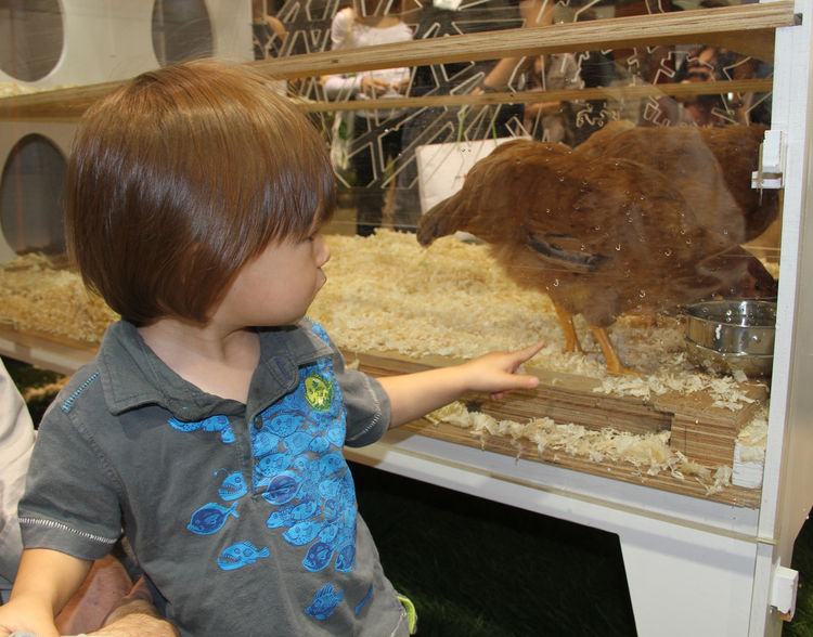 """A little one points to a chicken in a stylized plywood-and-acrylic coop by <a href=""""http://chickenco-op.com/"""">Chicken Co-Op</a>. Complete with egg-shaped venting cutouts, the co-op has passive heating and cooling systems and a solar-powered fan to keep he"""