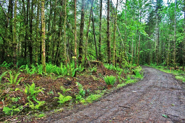 "The original access to the site consisted of an existing logging road. The road would eventually require widening to meet requirements. Orange tags wrapped trees that would need to be thinned per our <a href=""http://your.kingcounty.gov/ddes/cao/pdfs/factf"