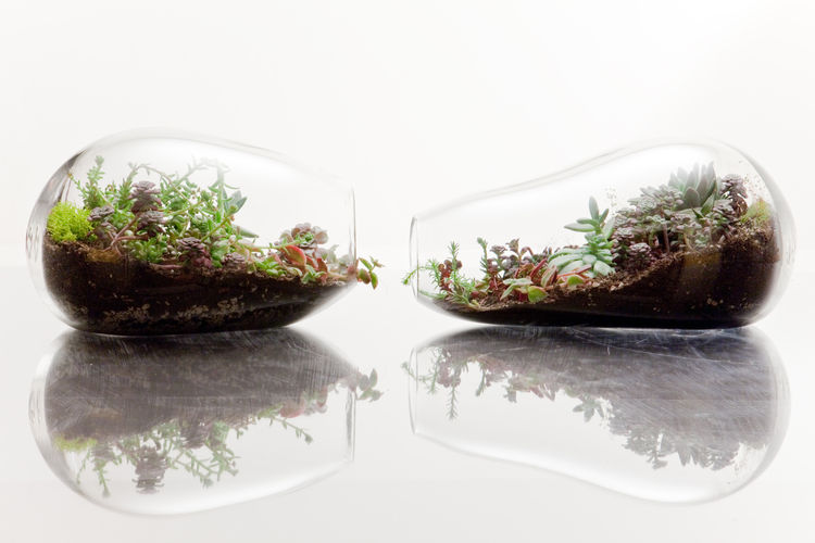 Because each glass form is hand-blown, no two terrariums are alike. Here are two Manatees.