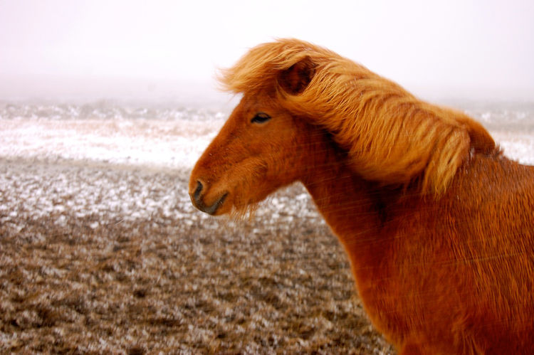 Icelandic horses are richly colored, like this guy who braved a hail storm long enough for me to snap his picture.