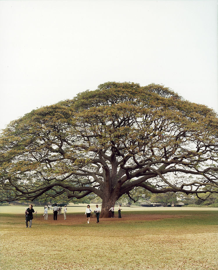 At Moanalua Gardens, visitors gape at the giant monkeypod tree, famous in Japan for starring in Hitachi ads.