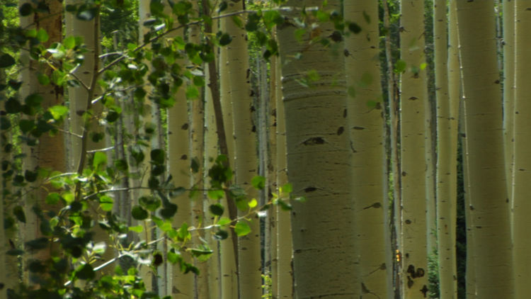 "(Film still from ""The Environmental Witch Hunt"") Aspen trees sliced apart by sunlight."