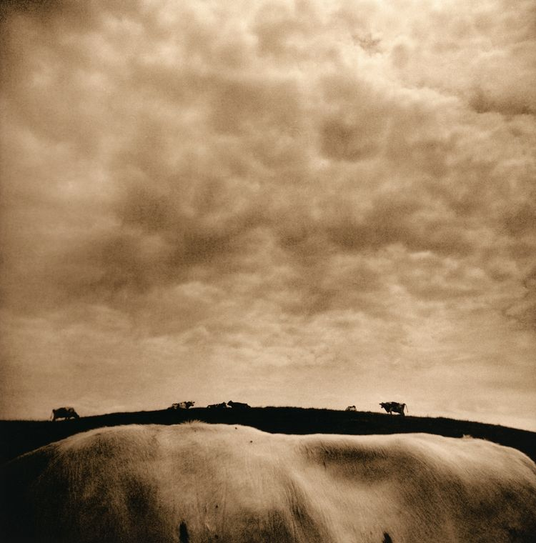 "Vicki Reed, ""Cowscape."""