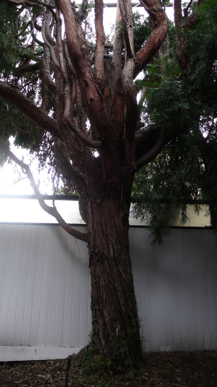 This tree—species unidentified—must have been planted by an early resident. It looms large in the back courtyard, creating a very different feeling outdoor space.