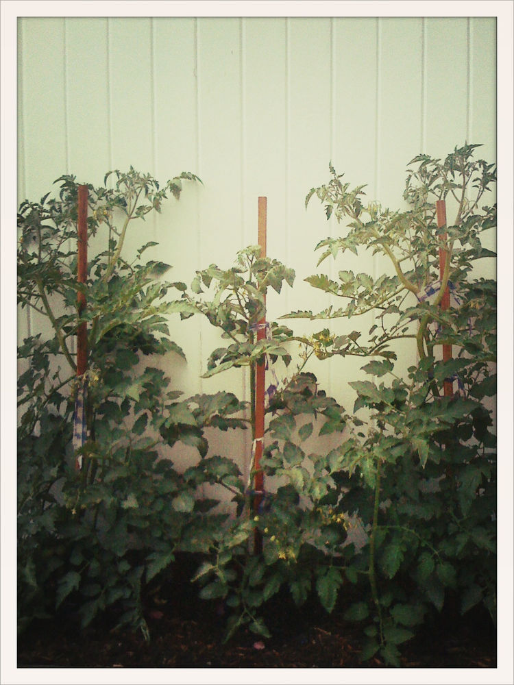 Here's a picture of last fall's late tomato plants, now replaced by snowpeas.