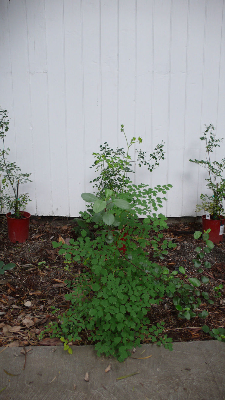 Here's the experimental shade garden winner, Meadow Rue, passing the test of no sun and no watering on my part (luckily lots of rain).  I have been waiting for months for this plant to come back to Theodore Payne. Luckily you can check their website to se