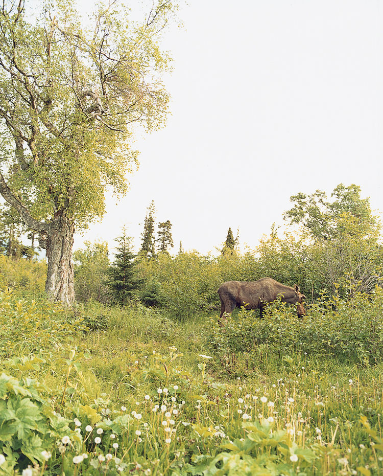 Valerie Phelps and Peter Burke's immediate backyard frequently plays host to moose and other wildlife in search of an afternoon snack.