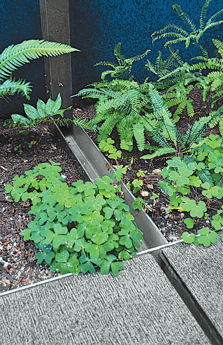 modern landscaping garden pacific northwest wood sorrel ground cover