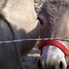 Also on the ranch were several miniature donkeys!  Photo by: Miyoko Ohtake