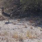 For a bit of real fauna, I couldn't help myself when I saw this real live roadrunner. He was fast, but I got a picture from the car.