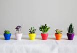 sill succulent