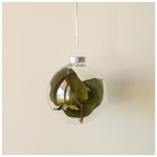 Salal Bulb