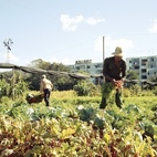 Havana: World Capital of Urban Farming?